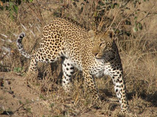 My Leopard 1200