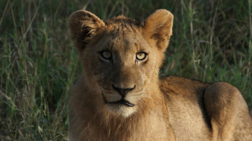 lions 1200